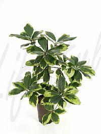 Corynocarpus