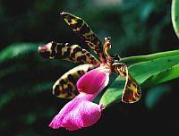 Cattleya acklandiae