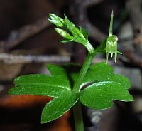 Acianthus amplexicaulis