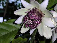 Passiflora Riparia