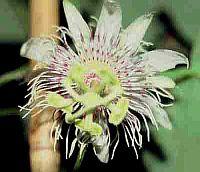 Passiflora Campanulata