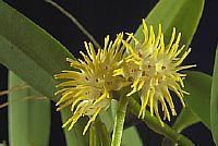 Bulbophyllum trichocephalum