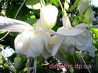 White Chimes