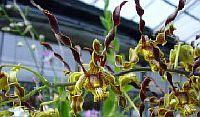 Dendrobium cochliodes