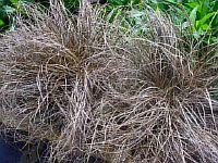 Carex Cappuccino