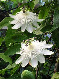 Passiflora eichleriana