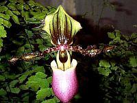 Paphiopedilum victoria-mariae