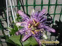 Passiflora Wilgen Marieke