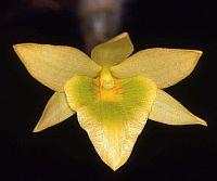 Dendrobium senile