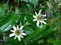 Passiflora Bauhinifolia