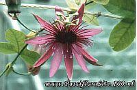 Passiflora Ilonka