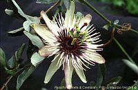 Passiflora Stella di Cremona