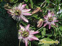 """Passiflora Violacea """"Atropurpurea"""""""