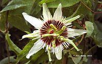 Passiflora Anna