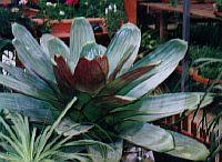 Vriesia imperialis