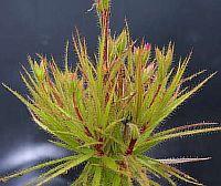 Roridula gorgonias