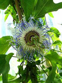Passiflora Surprise