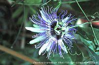 Passiflora Espero