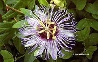 Passiflora Denisa