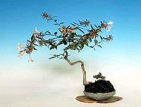 Abelia Grandiflora mini-bonsai