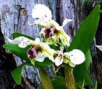 Dendrobium atroviolaceum