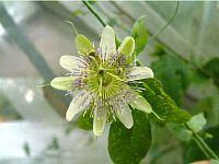 Passiflora John Grow