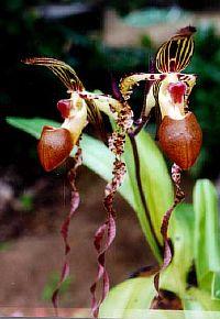 Paphiopedilum sanderianum