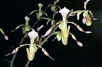Paphiopedilum haynaldianum