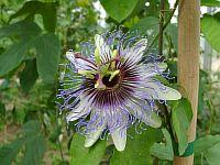 Passiflora Regina