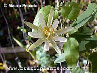 Passiflora galbana