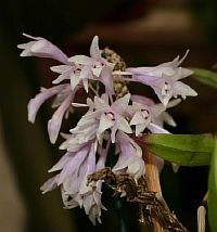 Dendrobium malvicolor