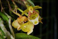 Gastrochilus fuscopunctatus