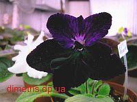 Bristol's Blackbird