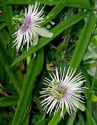 Passiflora lehmannii