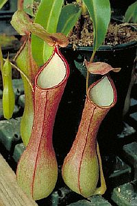 Nepenthes nalata