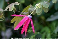 Passiflora edmundoi