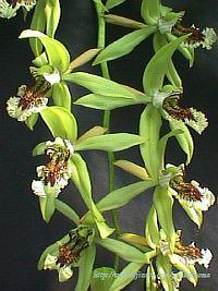 Coelogyne pandurata