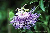 Passiflora cincinnata