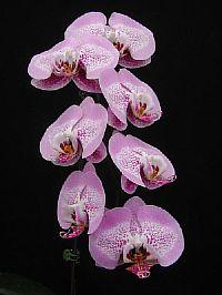 Doritaenopsis Leopard Prince Sogo Diamond