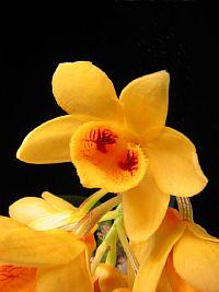 Dendrobium sulcatum
