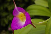 Masdevallia uniflora