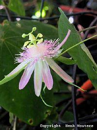 Passiflora Resticulata