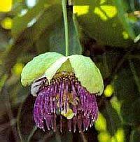 Passiflora Laura