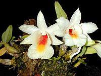 Dendrobium christyanum