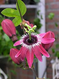 Passiflora Twin Star