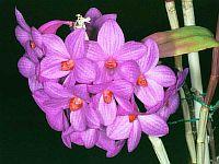 Dendrobium crepidiferum