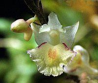 Dendrobium acinaciforme