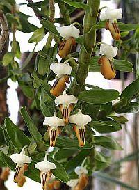 Dendrobium ellipsophyllum