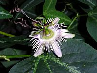 Passiflora Organensis