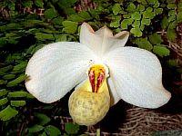 Paphiopedilum emersonii